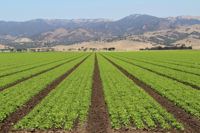 Lettuce rows 2013